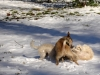 white_christmas_dog_fight_by_sonion